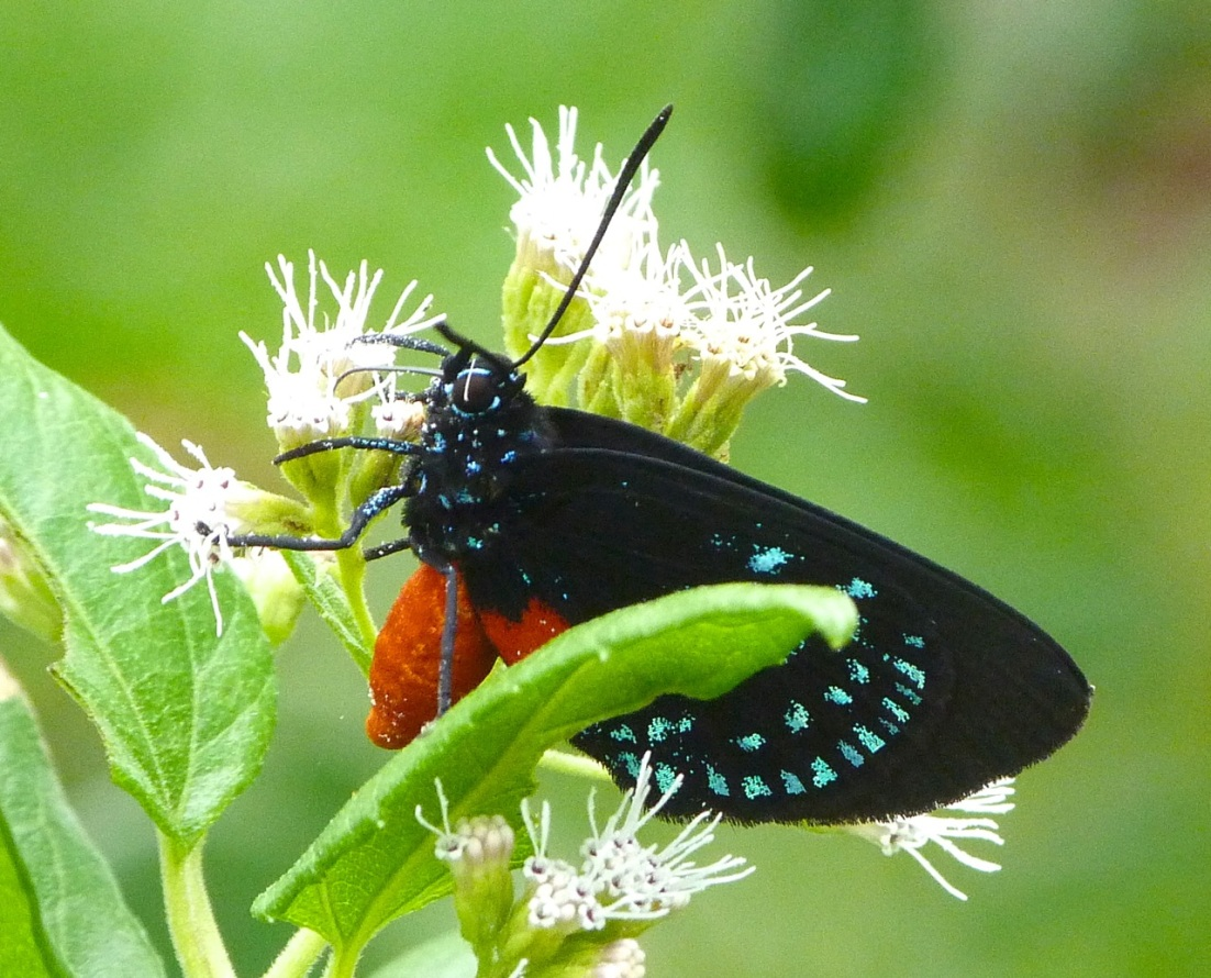 Atala Hairstreak Butterfly, Abaco 2