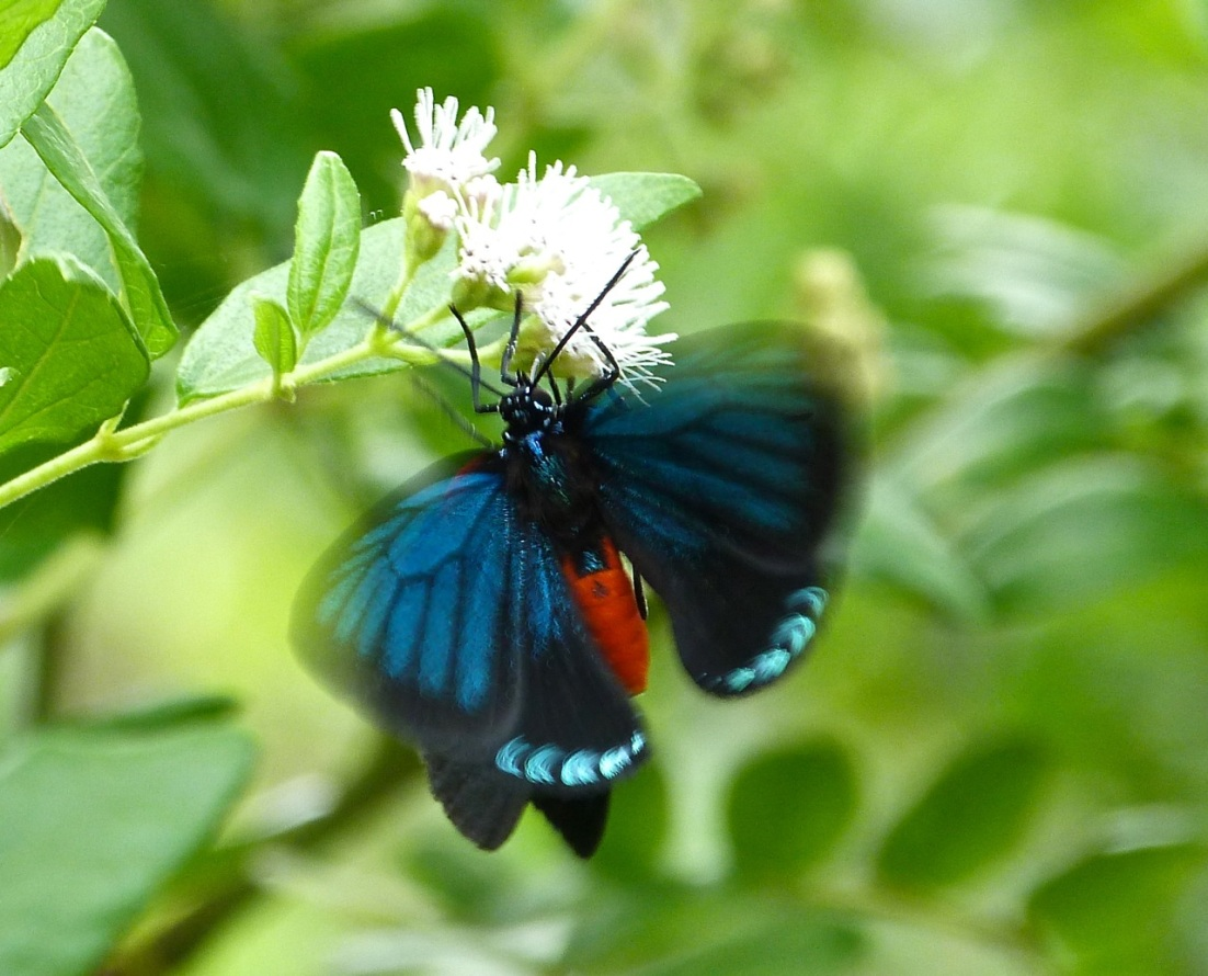 Atala Hairstreak Butterfly, Abaco 3