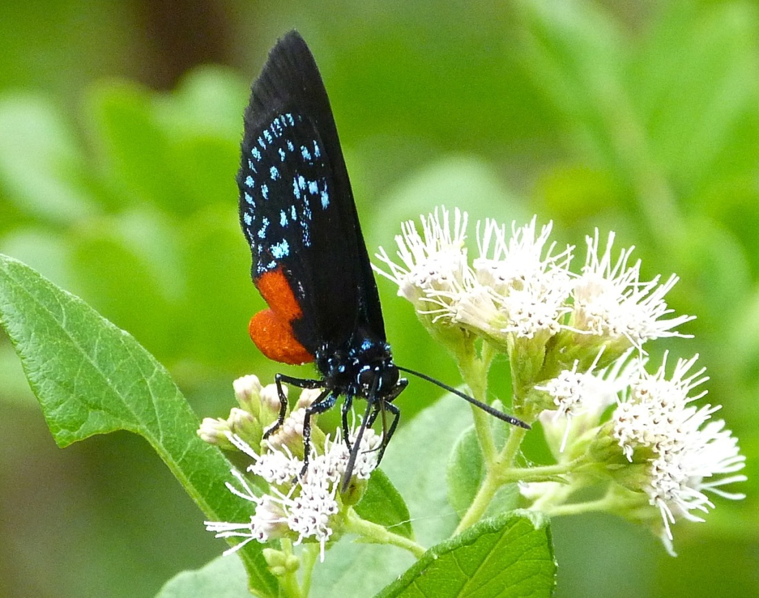 Atala Hairstreak Butterfly, Abaco 4
