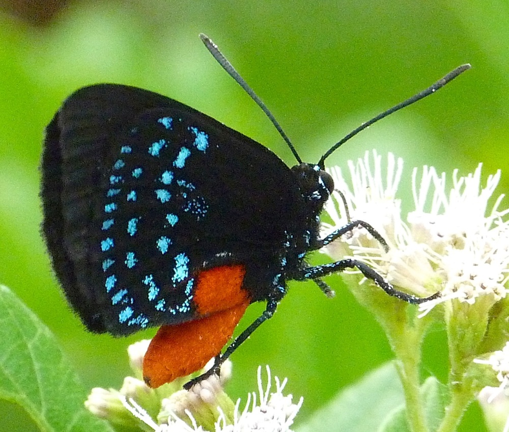 Atala Hairstreak Butterfly, Abaco 6