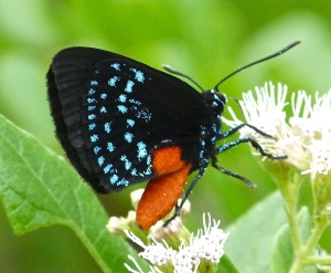 Atala Hairstreak Butterfly, Abaco 7