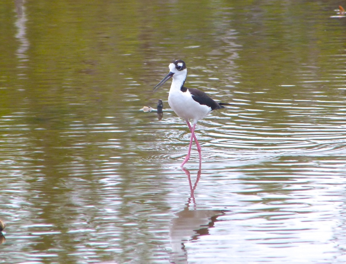 Black-necked Stilt, Abaco 1