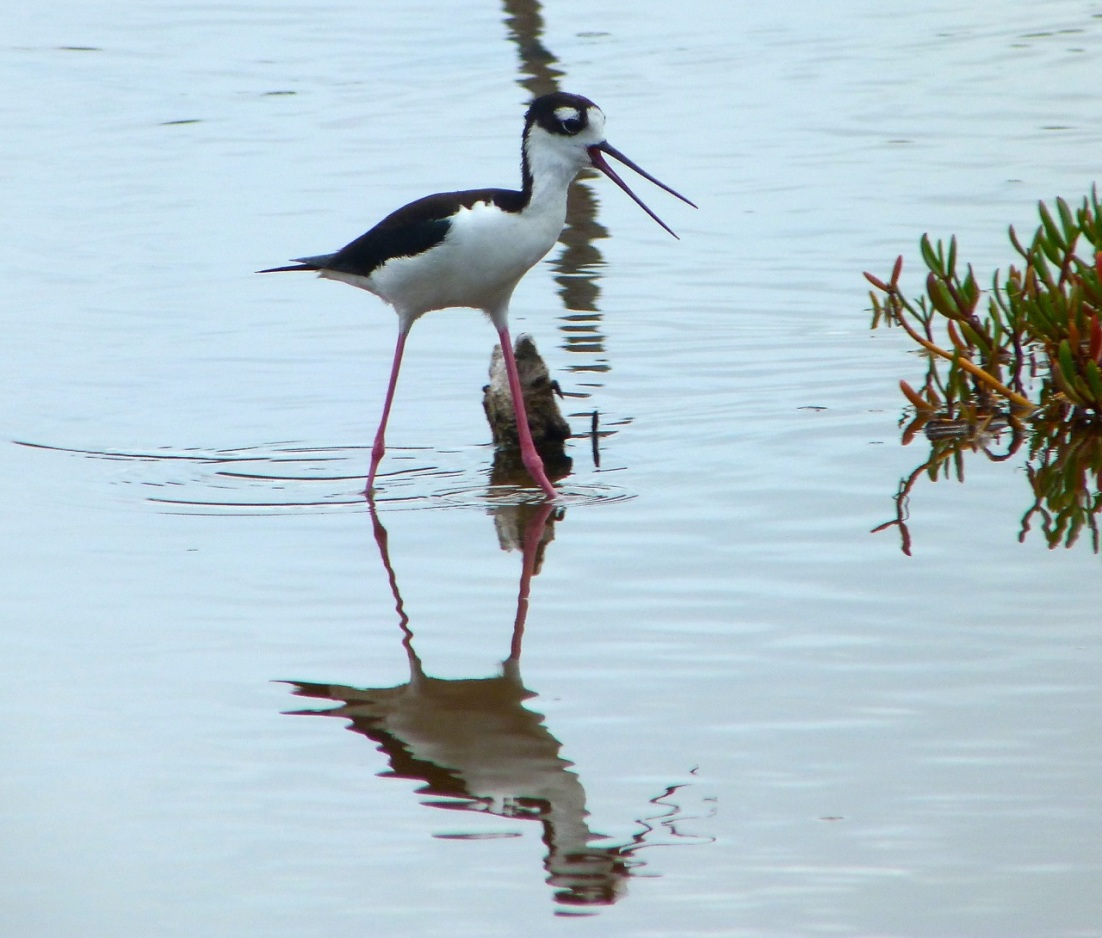 Black-necked Stilt, Abaco 3