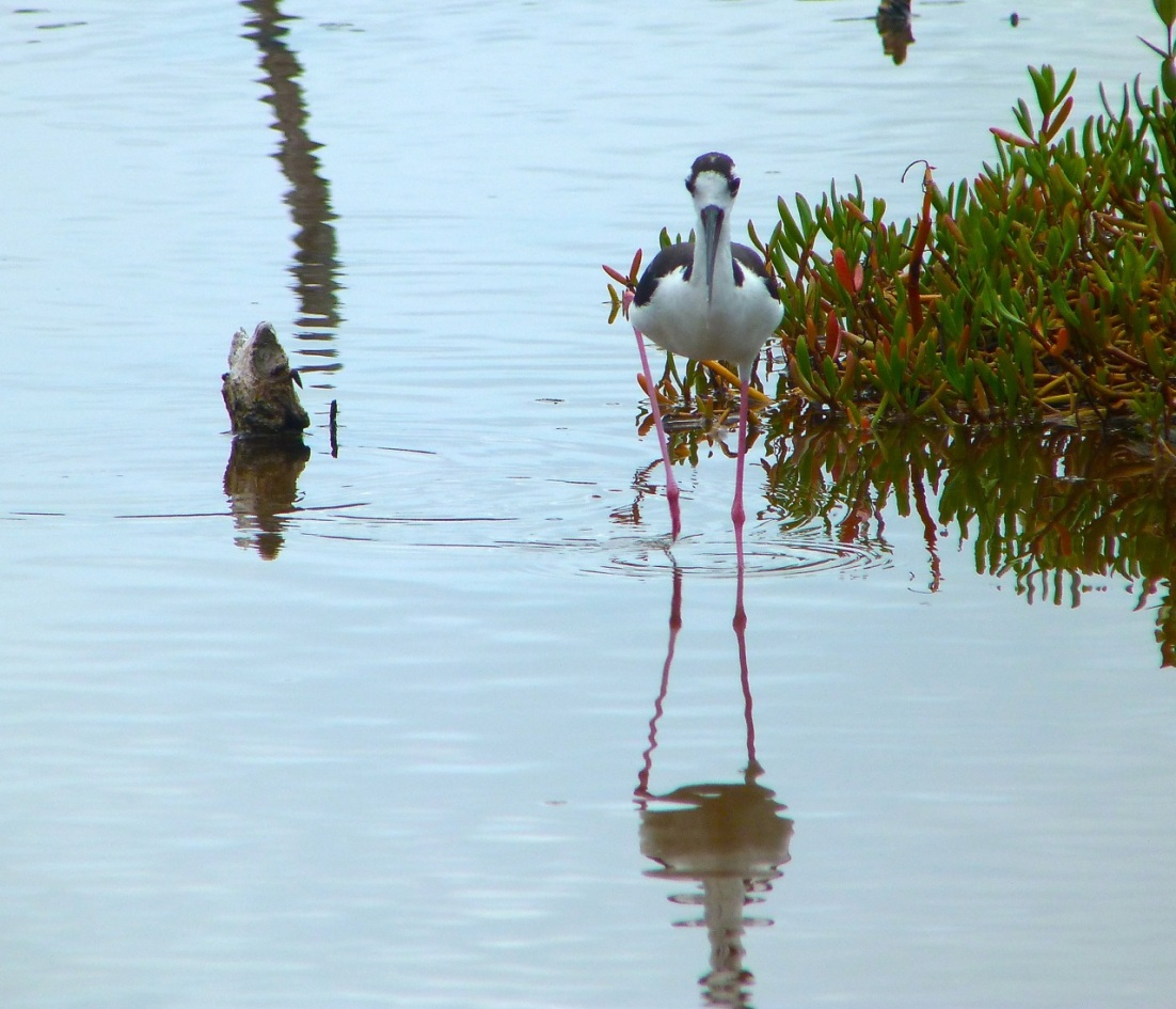 Black-necked Stilt, Abaco 4
