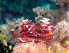 Christmas Tree Worms ©Melinda Riger @ G B Scuba