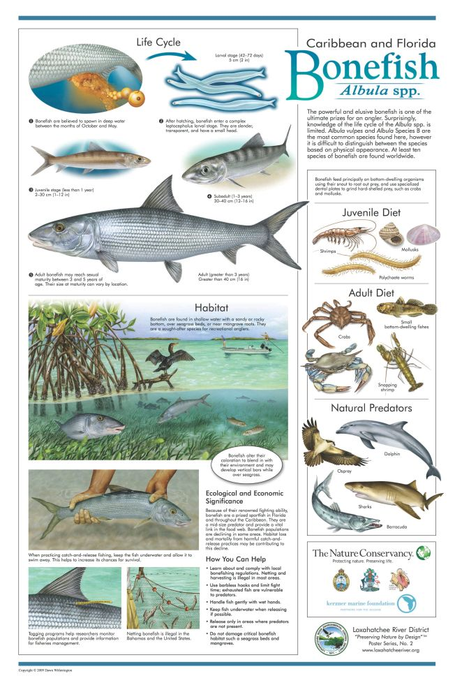 Loxahatchee River District Bonefish Poster