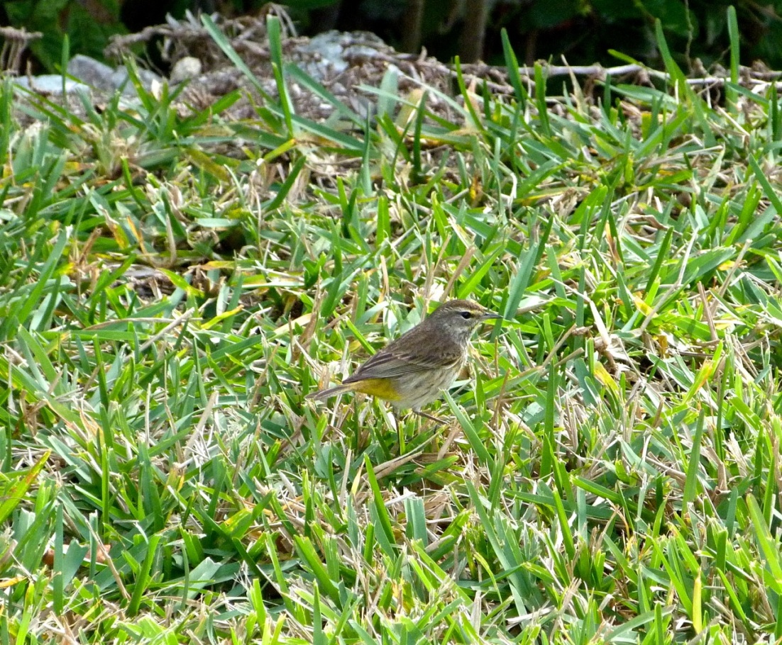 Palm Warbler Abaco 1