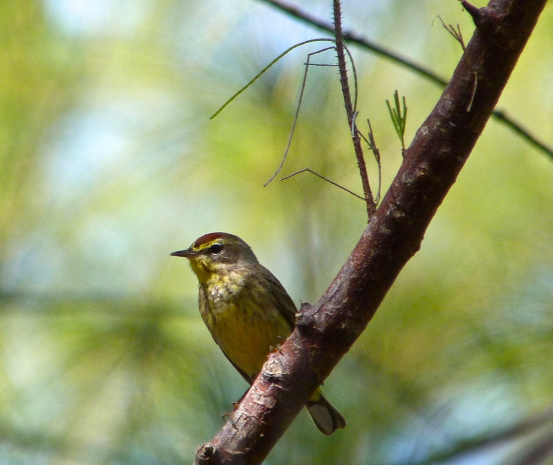 Palm Warbler Abaco 2
