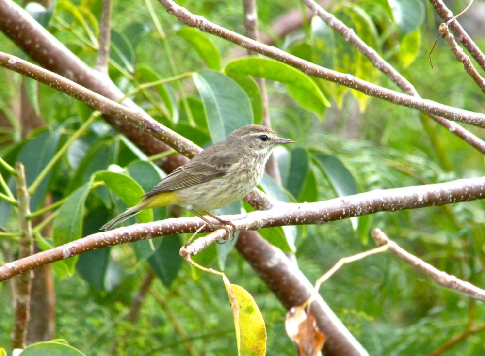 Palm Warbler, Abaco 3 (Keith Salvesen)
