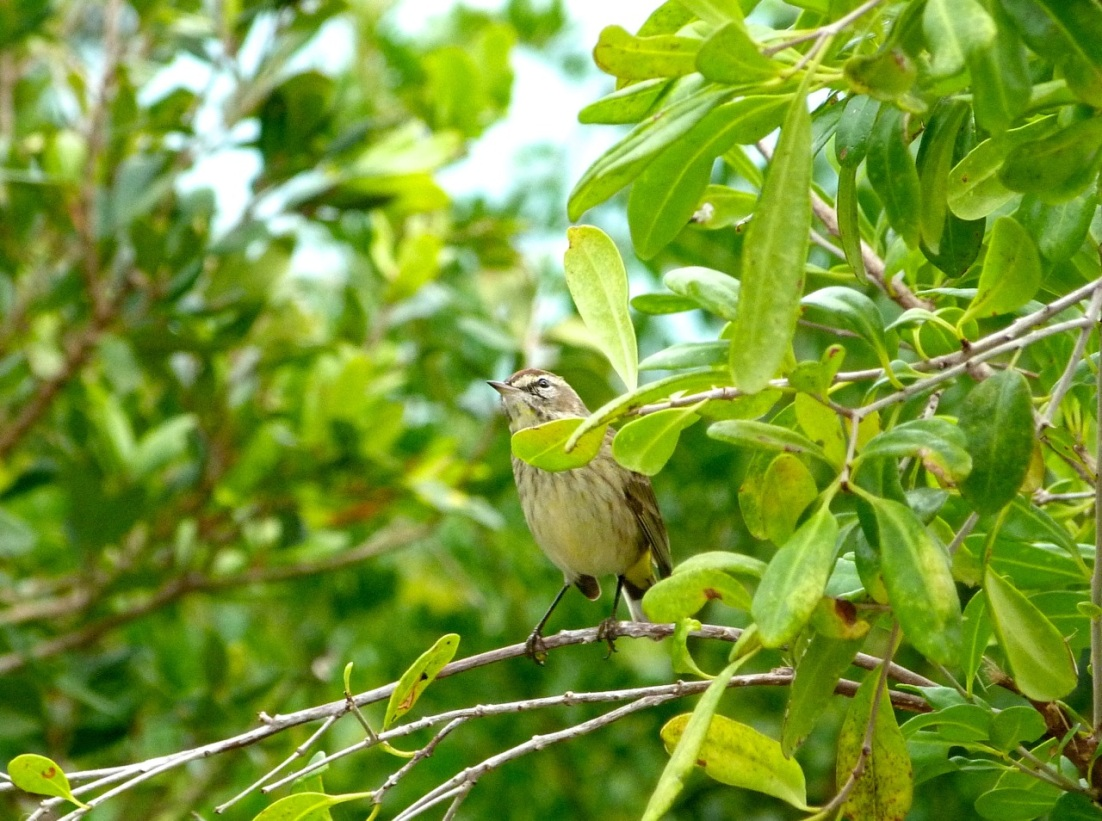 Palm Warbler, Abaco 4