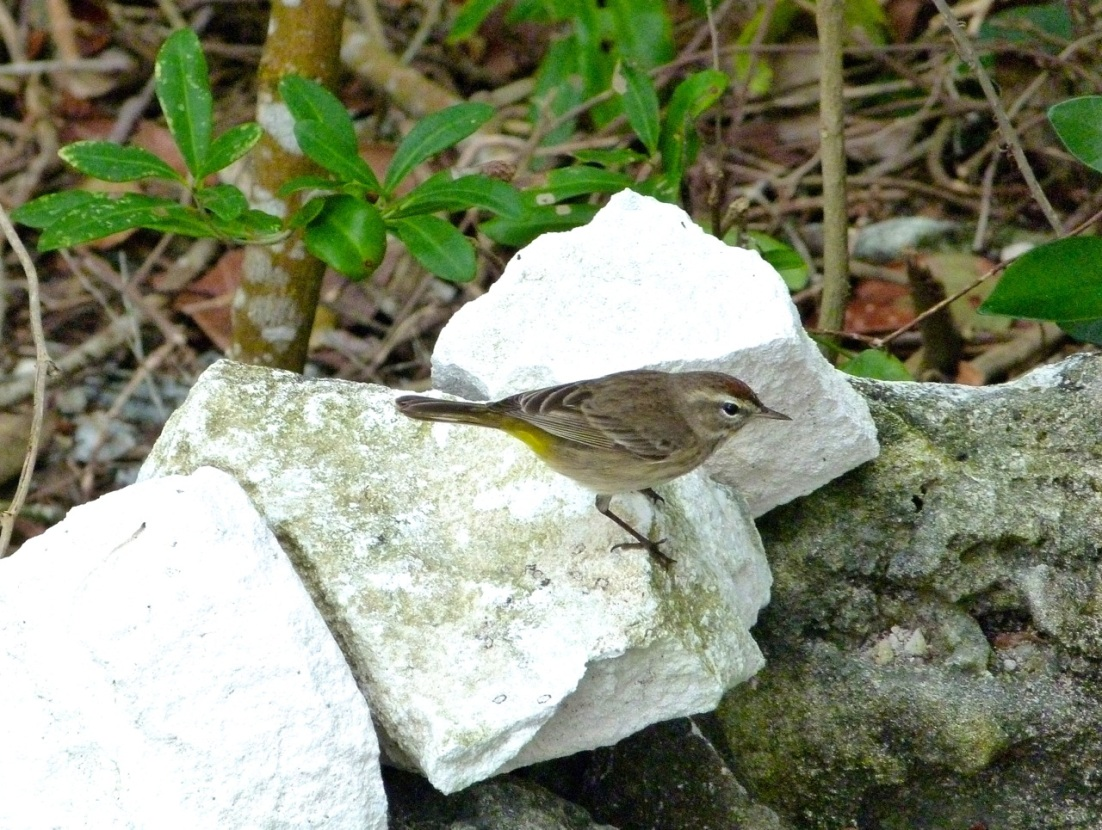 Palm Warbler, Abaco 5