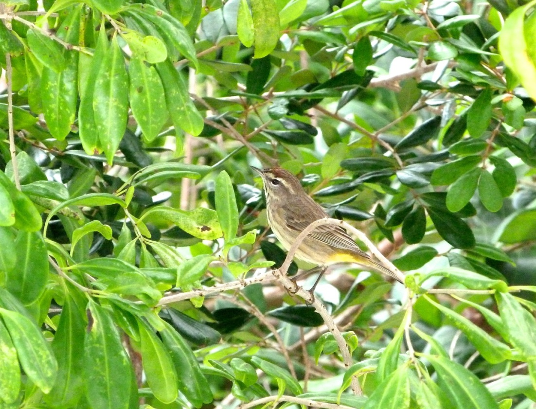 Palm Warbler, Abaco 6