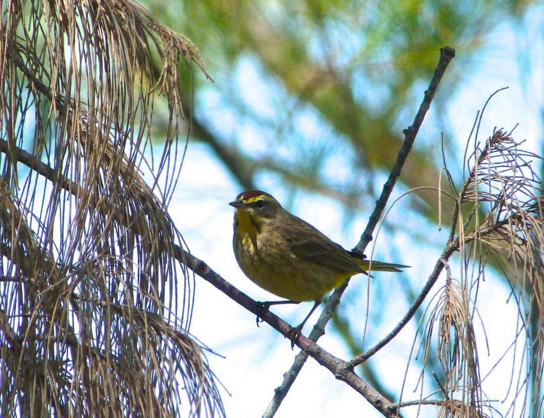 Palm Warbler, Abaco 7