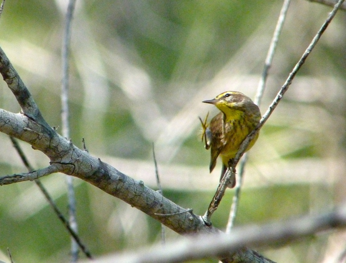 Palm Warbler, Abaco 8