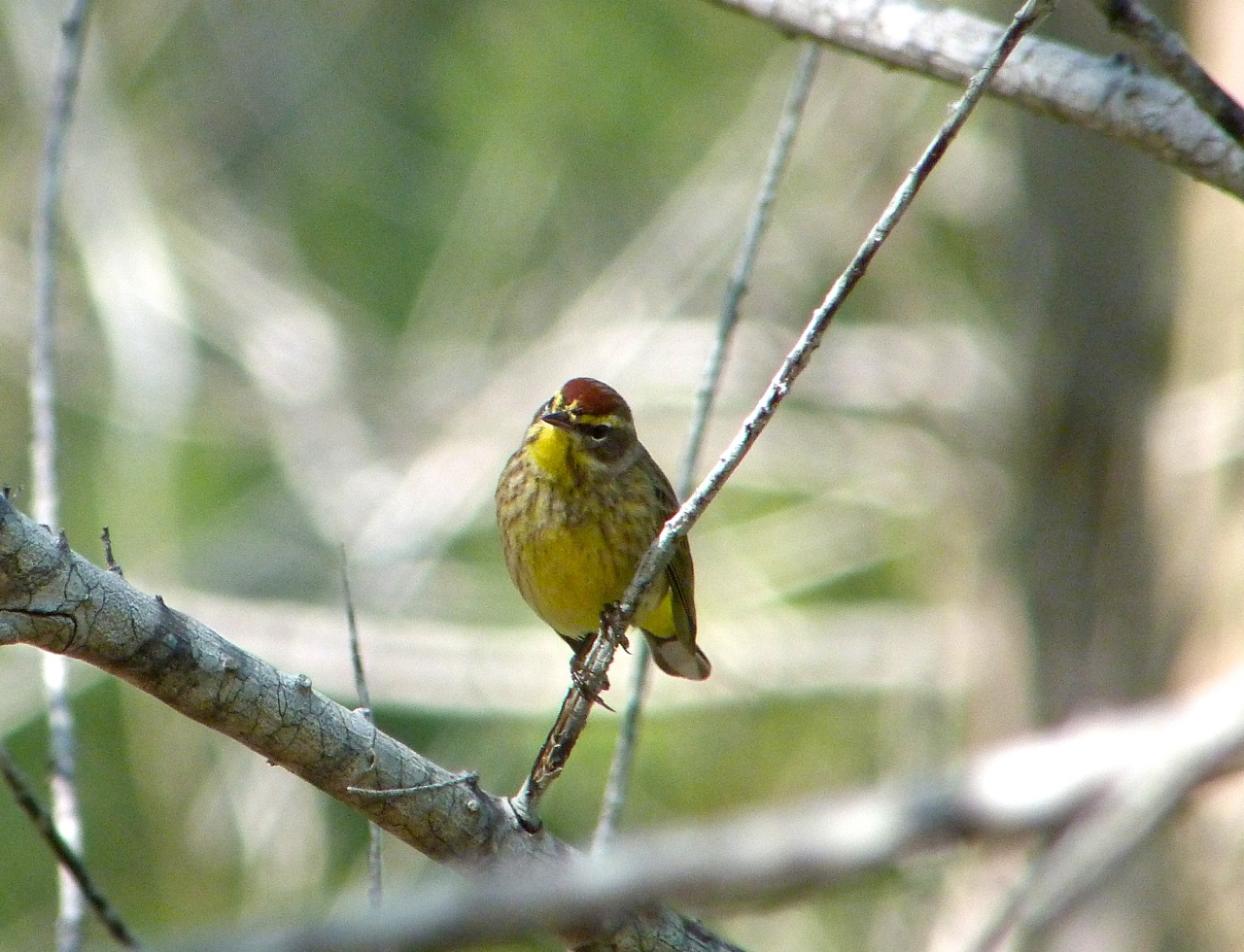 Palm Warbler, Abaco 9