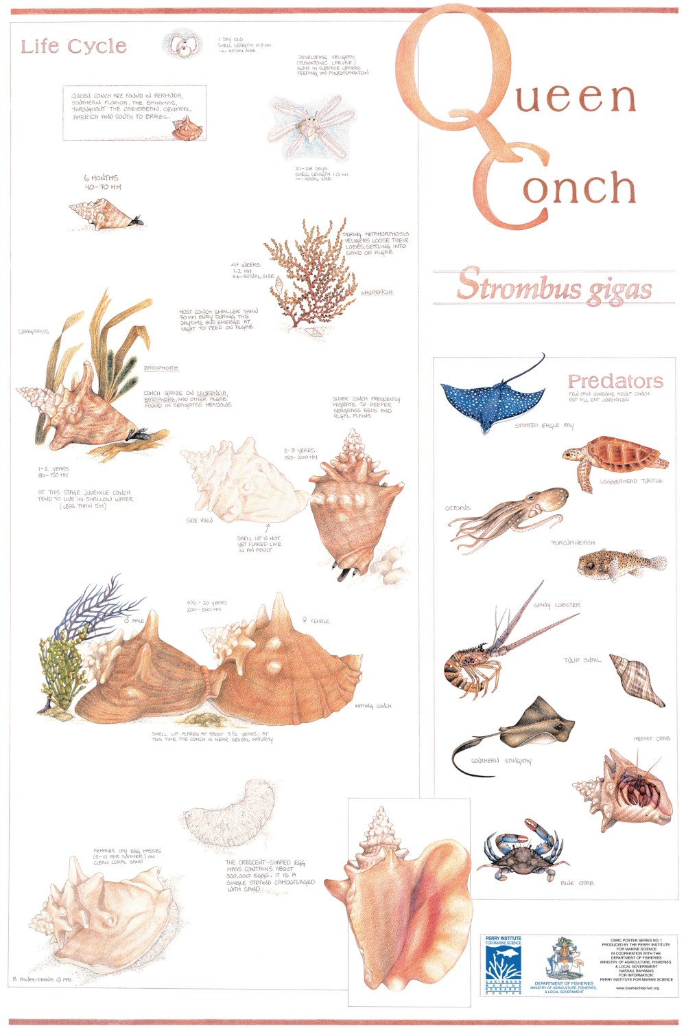 Queen Conch - Loxahatchee Poster