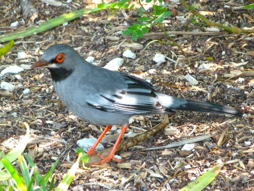 Red-legged Thrush Abaco 7