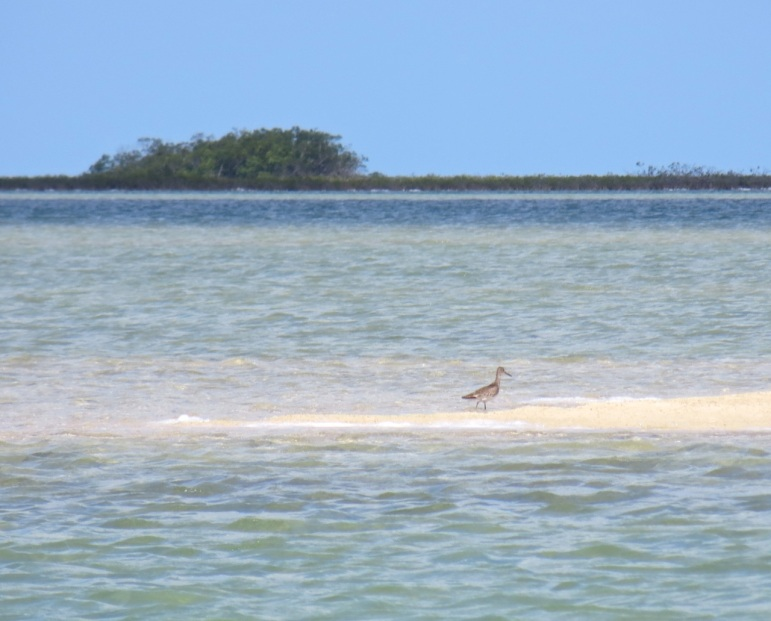 Willet, Abaco Marls 1