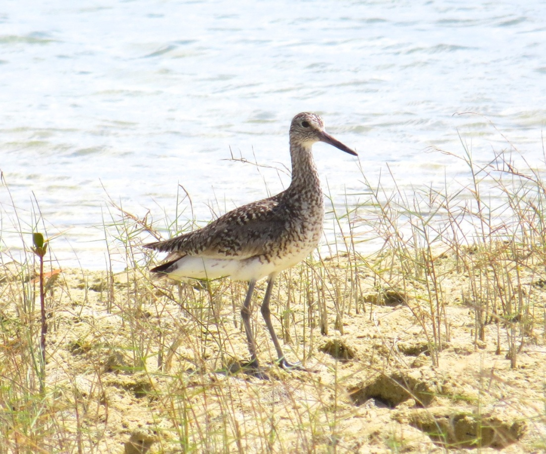 Willet, Abaco Marls 2