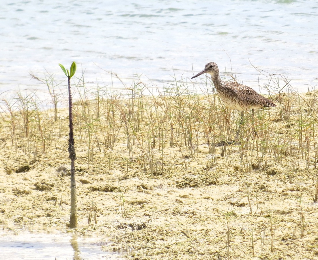 Willet, Abaco Marls 4