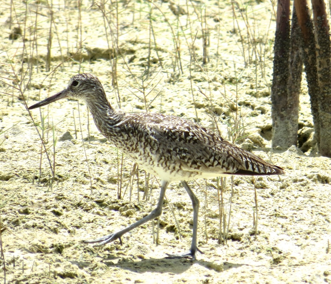 Willet, Abaco Marls 5
