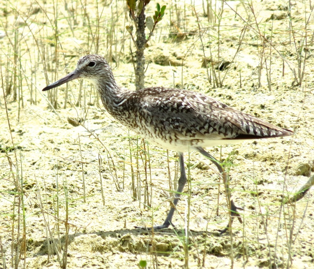 Willet, Abaco Marls 6