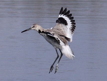 willet ©Greg Page @ Cornell Lab