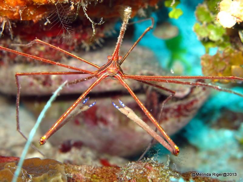 Arrow Crab ©Melinda Riger @ GB Scuba copy
