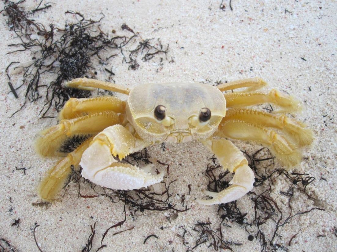 Beach Crab 1