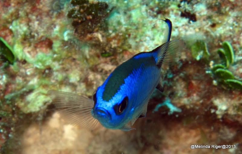 Blue Chromis ©Melinda Riger @ GB Scuba