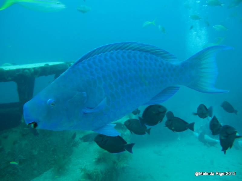 Blue Parrot Fish ©Melinda Riger @ G B Scuba