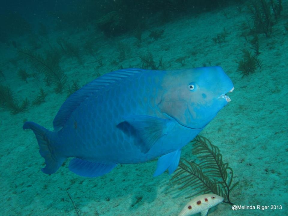 Blue parrotfish rolling harbour abaco for Blue saltwater fish
