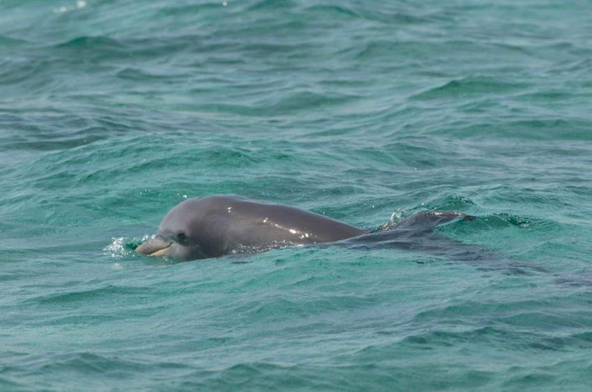 Bottlenose Dolphin near Gorda Cay