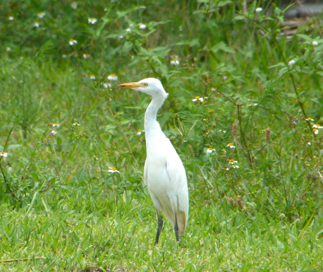 Cattle Egret Abaco 2