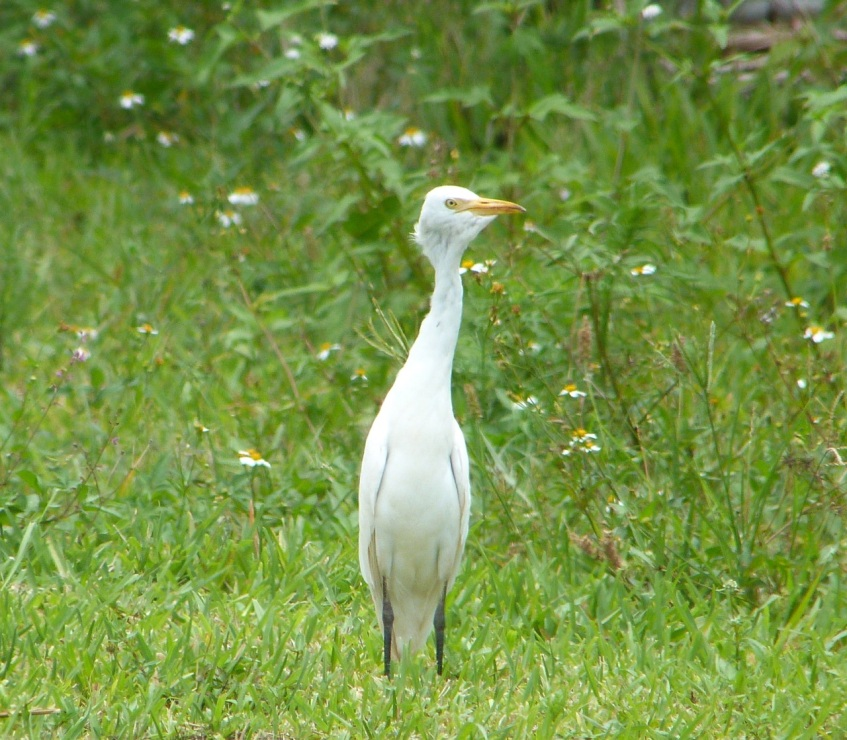 Cattle Egret Abaco 4
