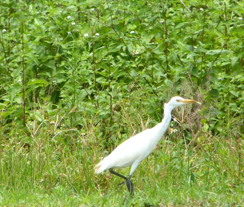 Cattle Egret Abaco 7