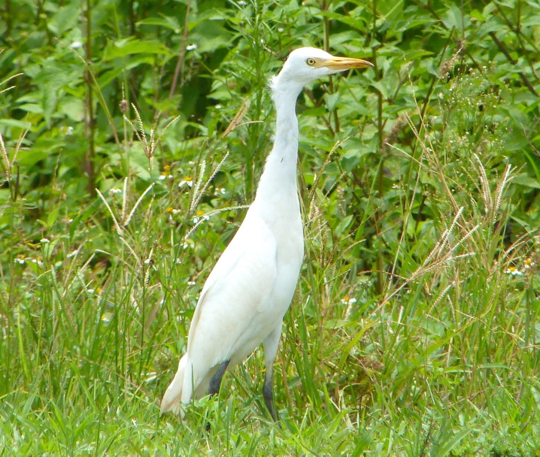 Cattle Egret Abaco 8