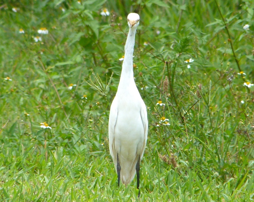 Cattle Egret Sandy Point Abaco 12