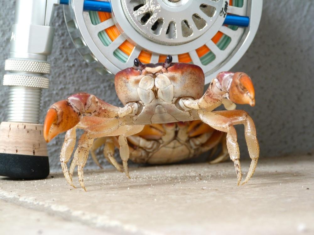 Black-backed Land Crab, Delphi, Abaco (Keith Salvesen)