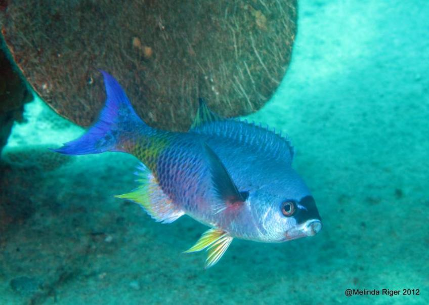 Creole Wrasse ©Melinda Riger @GBS