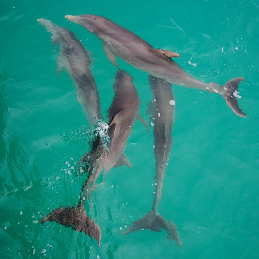 Dolphins bow-riding