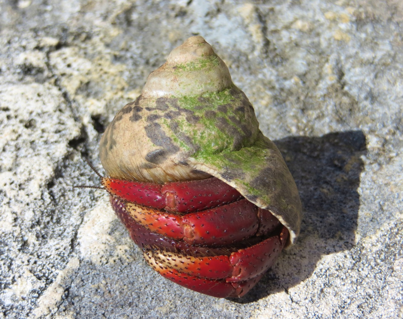 Natural hermit crab shells