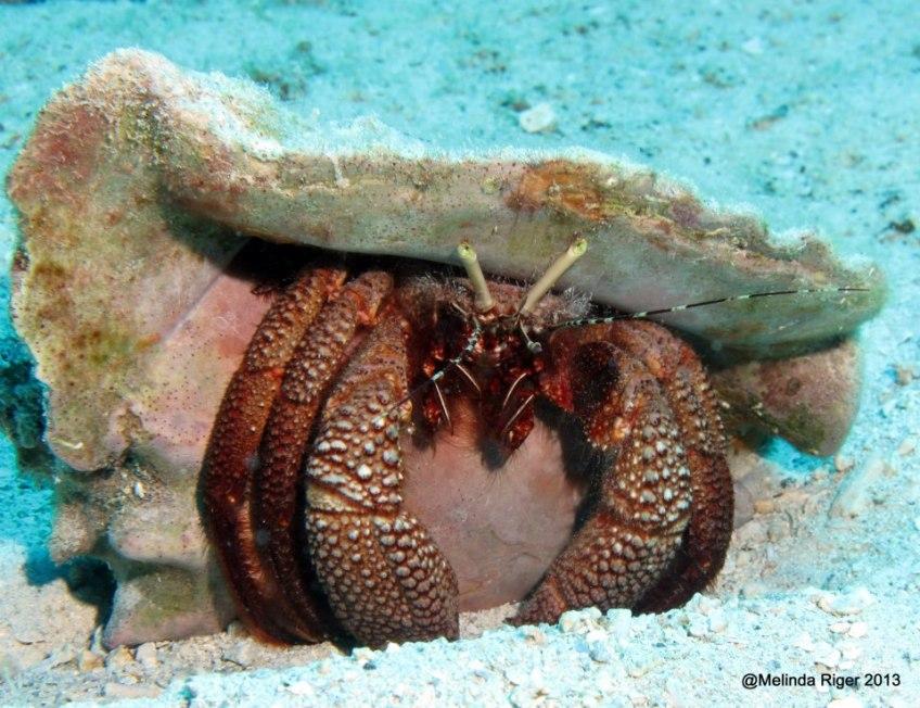 Hermit Crab ©Melinda Riger @ GB Scuba