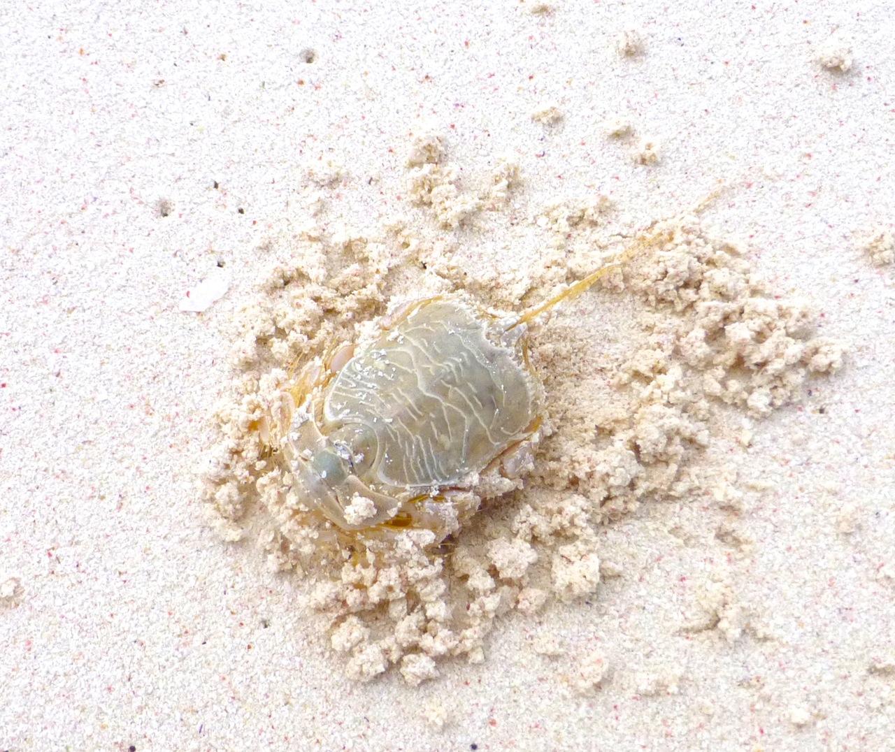 Horseshoe Crab (Limulus), Delphi Beach, Abaco Bahamas (Keith Salvesen)
