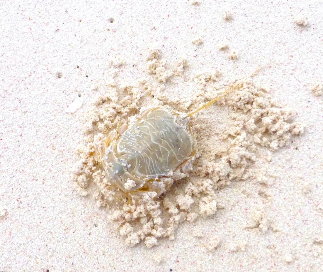 Horseshoe Crab (Limulus), Delphi Beach, Abaco Bahamas