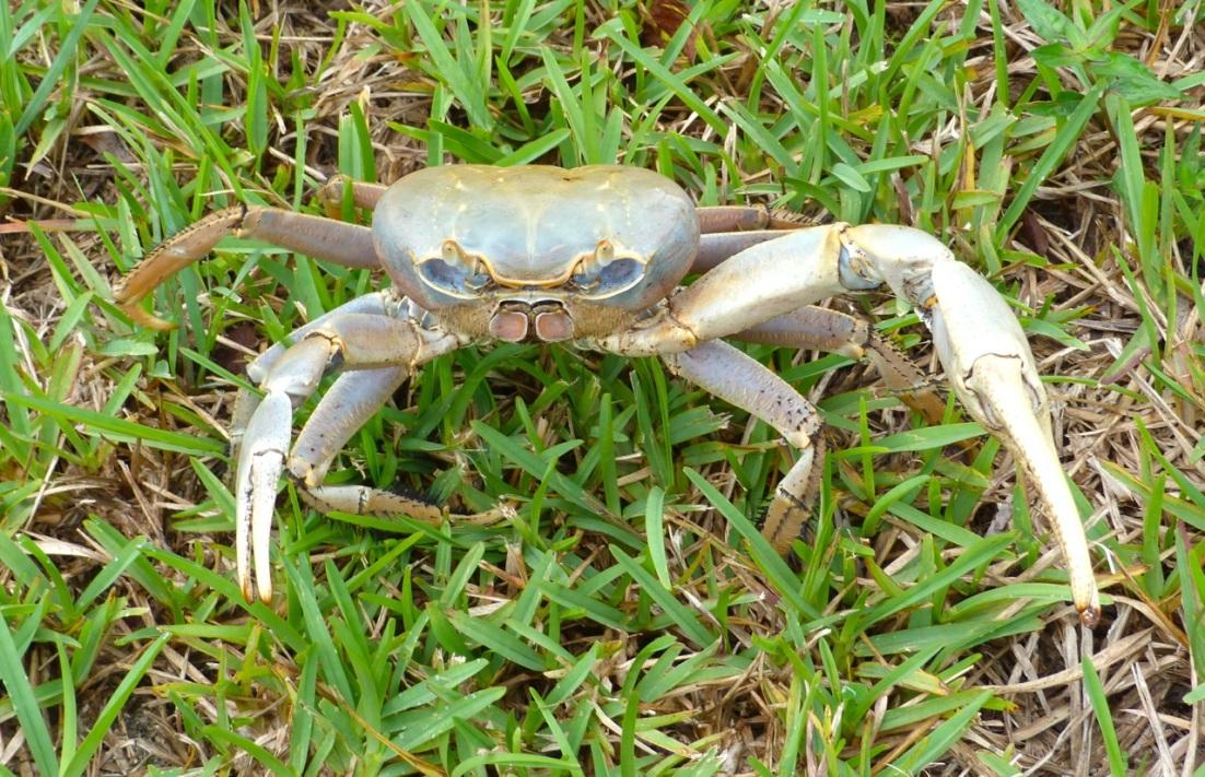 Land Crab 1
