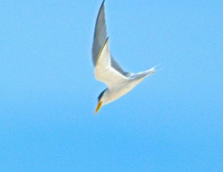 Least Tern Abaco b