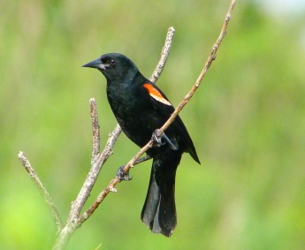 Red-winged Blackbird Abaco Bahamas (Keith Salvesen)