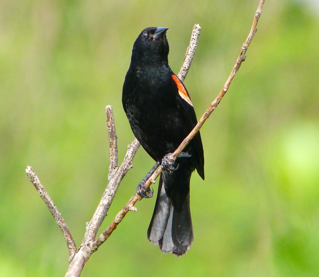 Red-winged Blackbird Abaco Bahamas 2