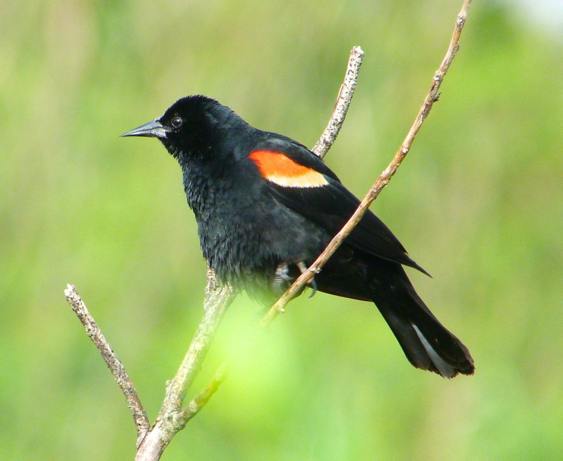 Red-winged Blackbird Abaco Bahamas 3